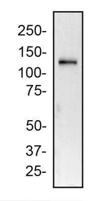 2A Peptide Antibody 3H4 0025 mg