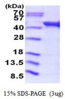 Recombinant E coli Acetate kinase Protein 01 mg