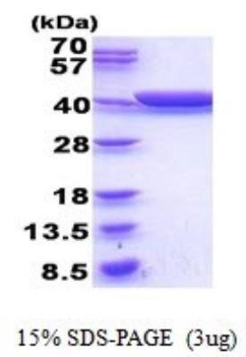 Recombinant E coli Glycerol dehydrogenase Protein 002 mg